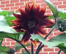 Sun Flower (450 x 600)
