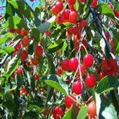 cherry web
