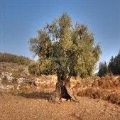 olive web