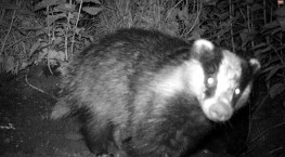 Badgers in the Orchard