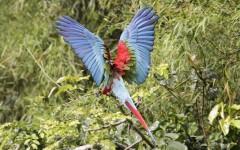 Manu National Park Ara chloropterus